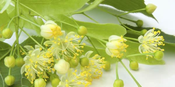 Аромат цветущей липы в парфюмерии